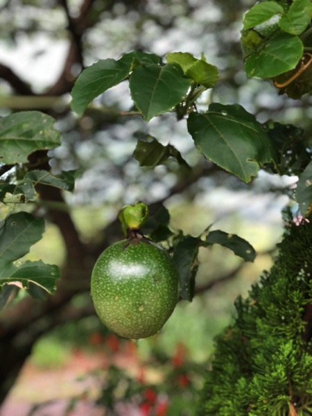 Passion fruit on farm in brasil