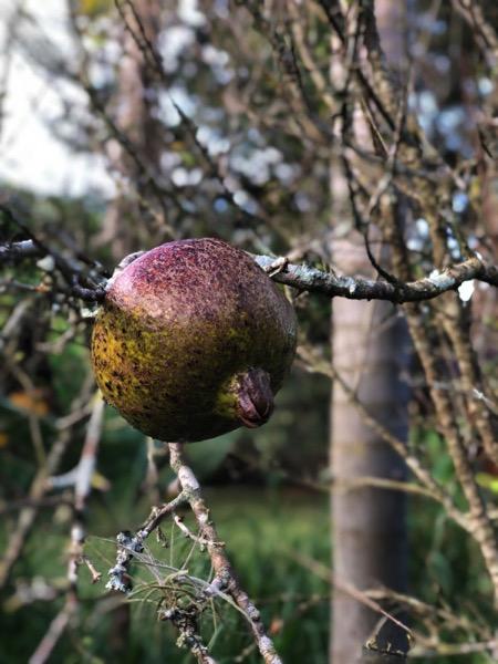 Pomegranate on farm in brasil