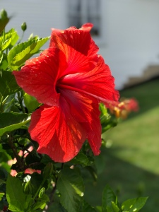 Five petalled hibiscus - celebrating guidance