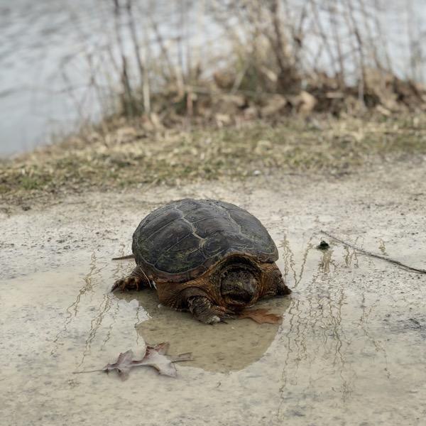 A tortoise on its walk