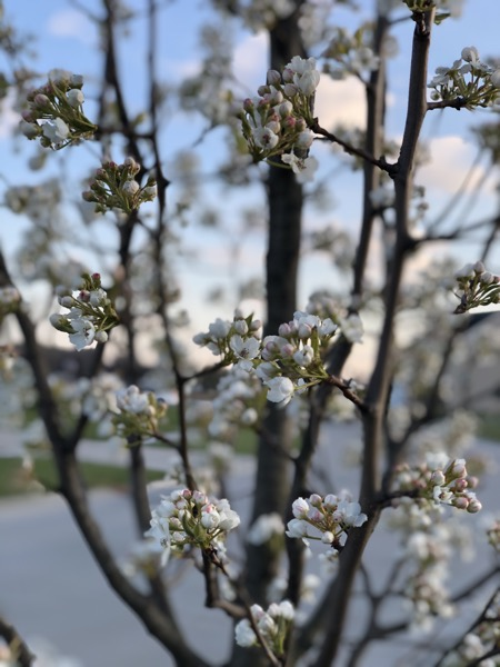 IMG 2037 spring buds